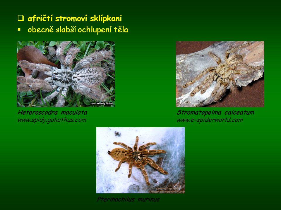 afričtí stromoví sklípkani  obecně slabší ochlupení těla Heteroscodra maculata www.spidy.goliathus.com Stromatopelma calceatum www.e-spiderworld.co