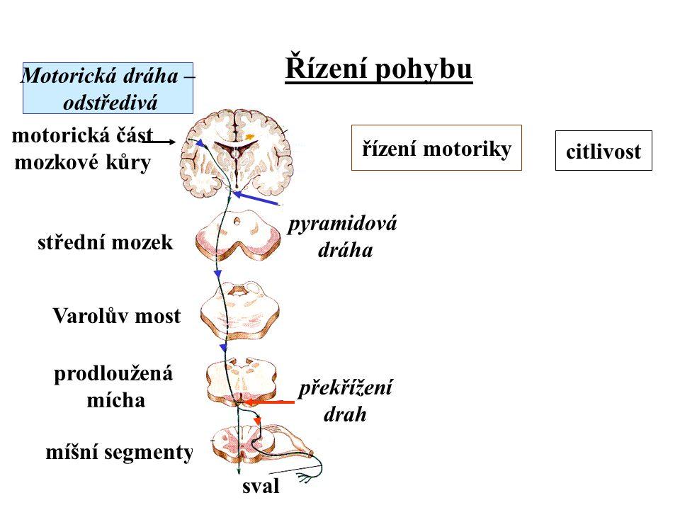 Řízení pohybu Motorická dráha – odstředivá motorická část mozkové kůry střední mozek Varolův most prodloužená mícha míšní segmenty překřížení drah pyr