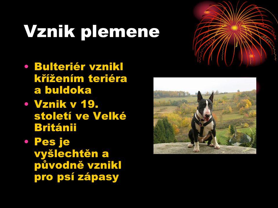 Vznik plemene Bulteriér vznikl křížením teriéra a buldoka Vznik v 19. století ve Velké Británii Pes je vyšlechtěn a původně vznikl pro psí zápasy