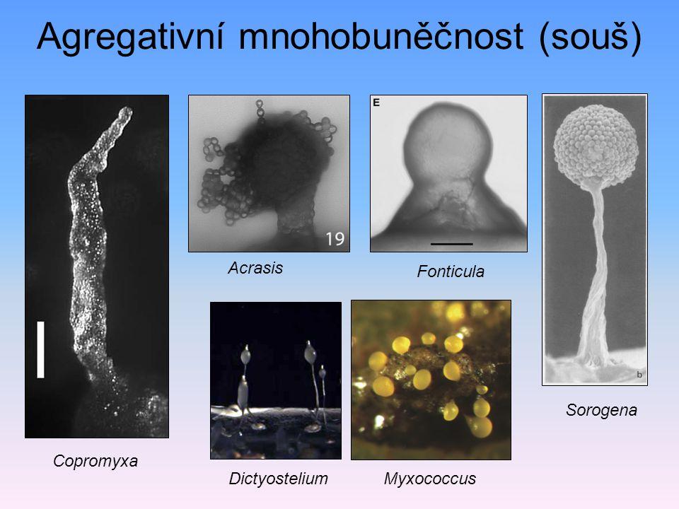 Agregativní mnohobuněčnost (souš) Dictyostelium Acrasis Sorogena Fonticula Myxococcus Copromyxa