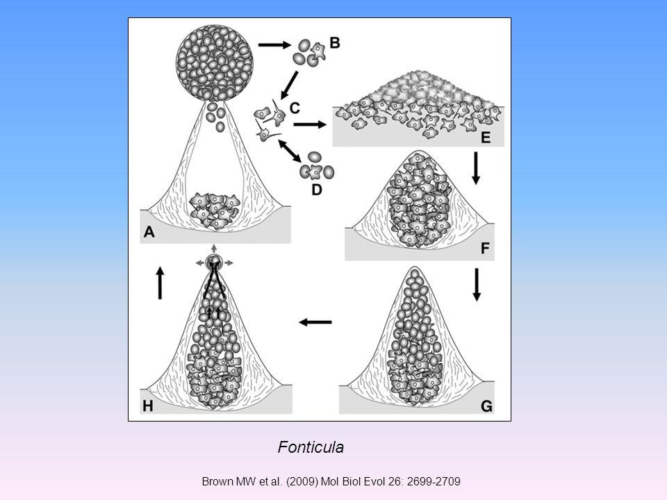 Brown MW et al. (2009) Mol Biol Evol 26: 2699-2709 Fonticula