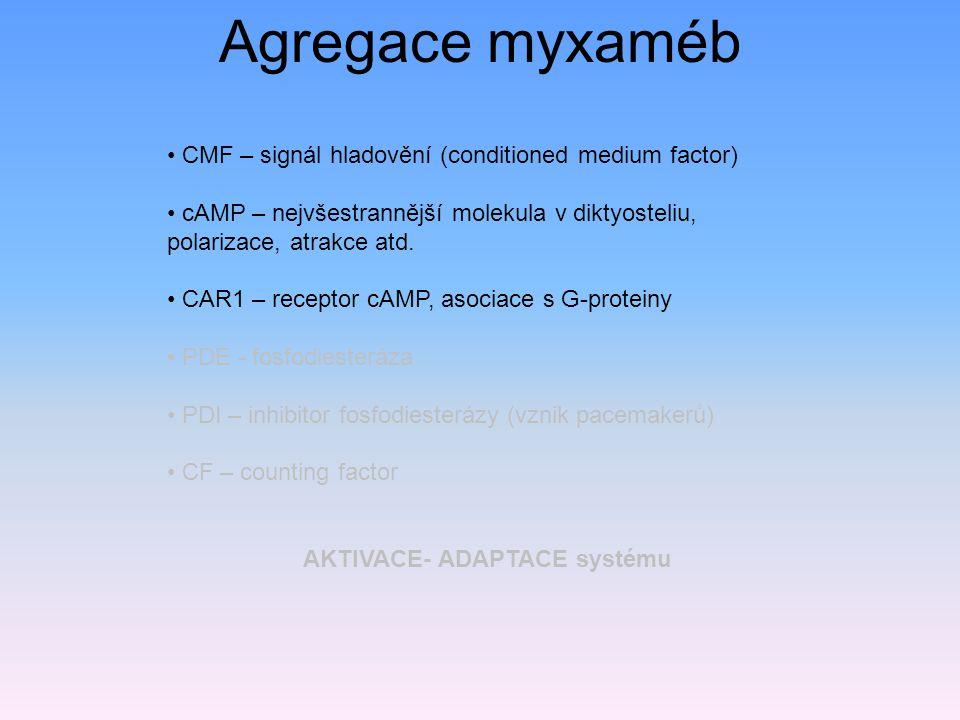 CMF – signál hladovění (conditioned medium factor) cAMP – nejvšestrannější molekula v diktyosteliu, polarizace, atrakce atd.