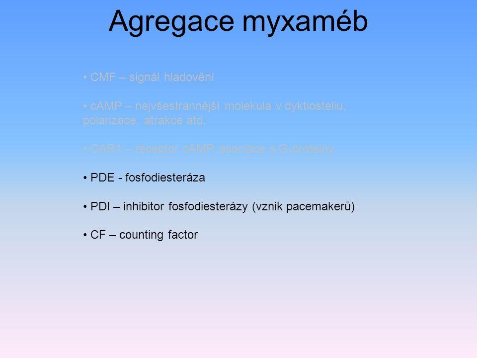 CMF – signál hladovění cAMP – nejvšestrannější molekula v dyktiosteliu, polarizace, atrakce atd.