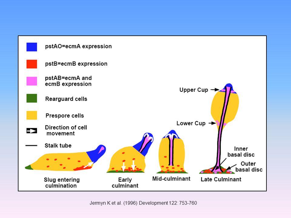 Jermyn K et al. (1996) Development 122: 753-760