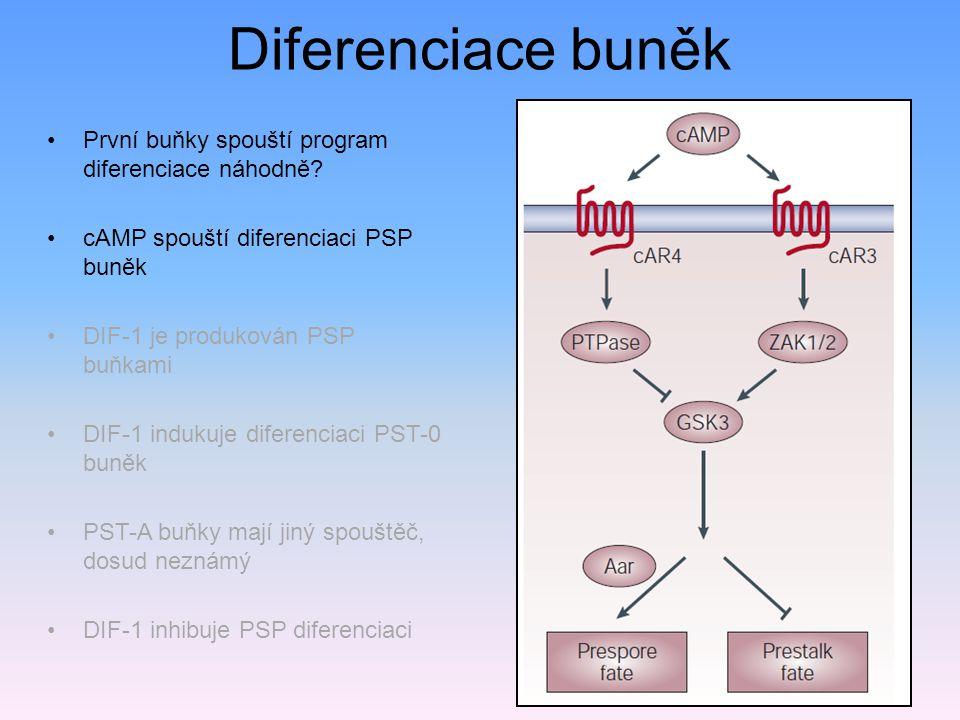 Diferenciace buněk DIF-1 První buňky spouští program diferenciace náhodně.