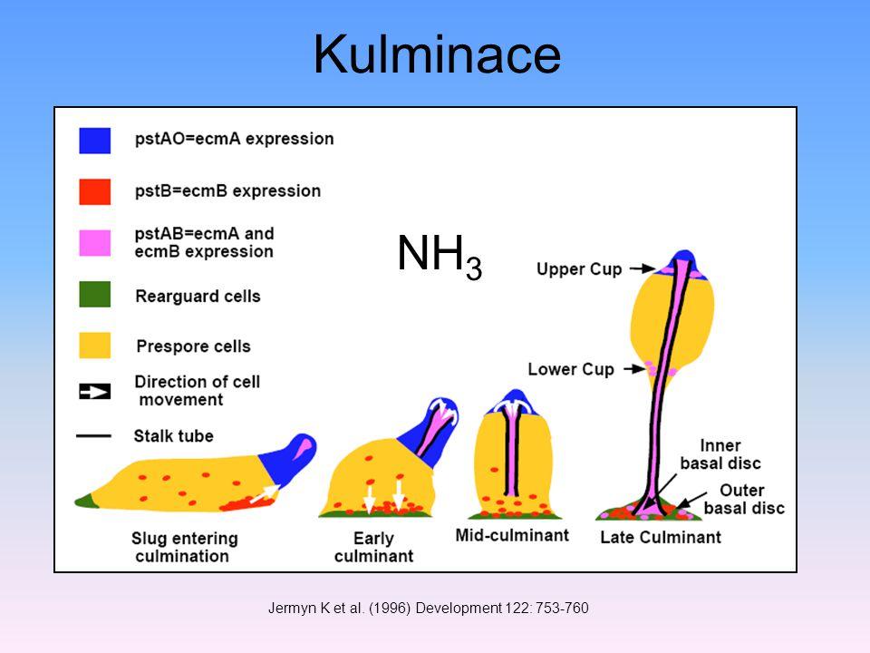 Jermyn K et al. (1996) Development 122: 753-760 Kulminace NH 3