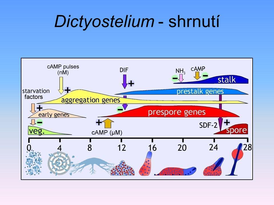 Dictyostelium - shrnutí