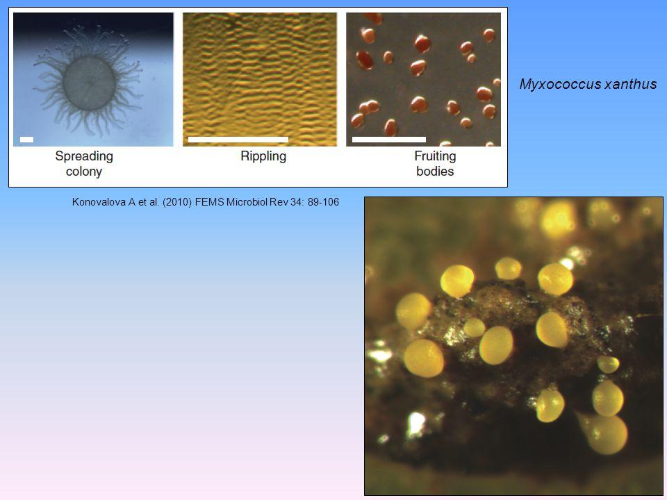 Myxococcus xanthus Konovalova A et al. (2010) FEMS Microbiol Rev 34: 89-106