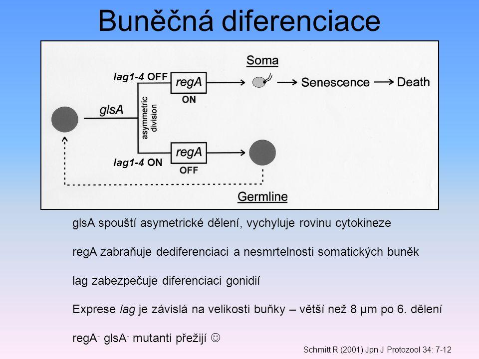 Schmitt R (2001) Jpn J Protozool 34: 7-12 Buněčná diferenciace lag1-4 ON lag1-4 OFF glsA spouští asymetrické dělení, vychyluje rovinu cytokineze regA zabraňuje dediferenciaci a nesmrtelnosti somatických buněk lag zabezpečuje diferenciaci gonidií Exprese lag je závislá na velikosti buňky – větší než 8 μm po 6.