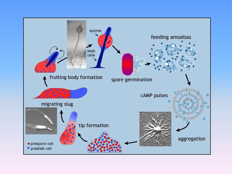 Acytostelium subglobosum
