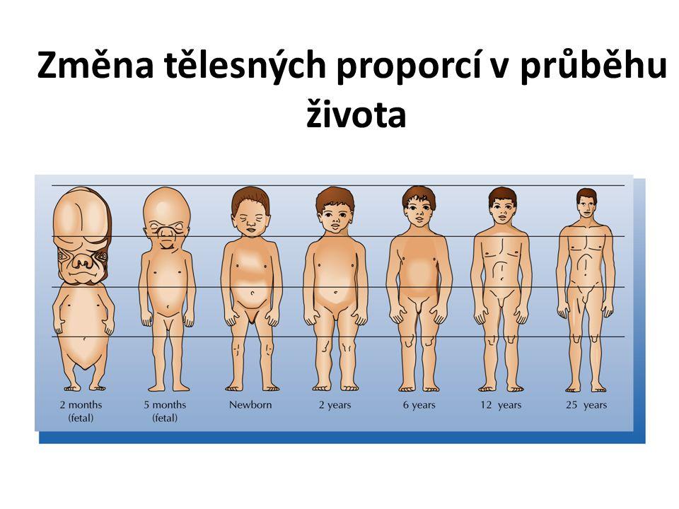Změna tělesných proporcí v průběhu života