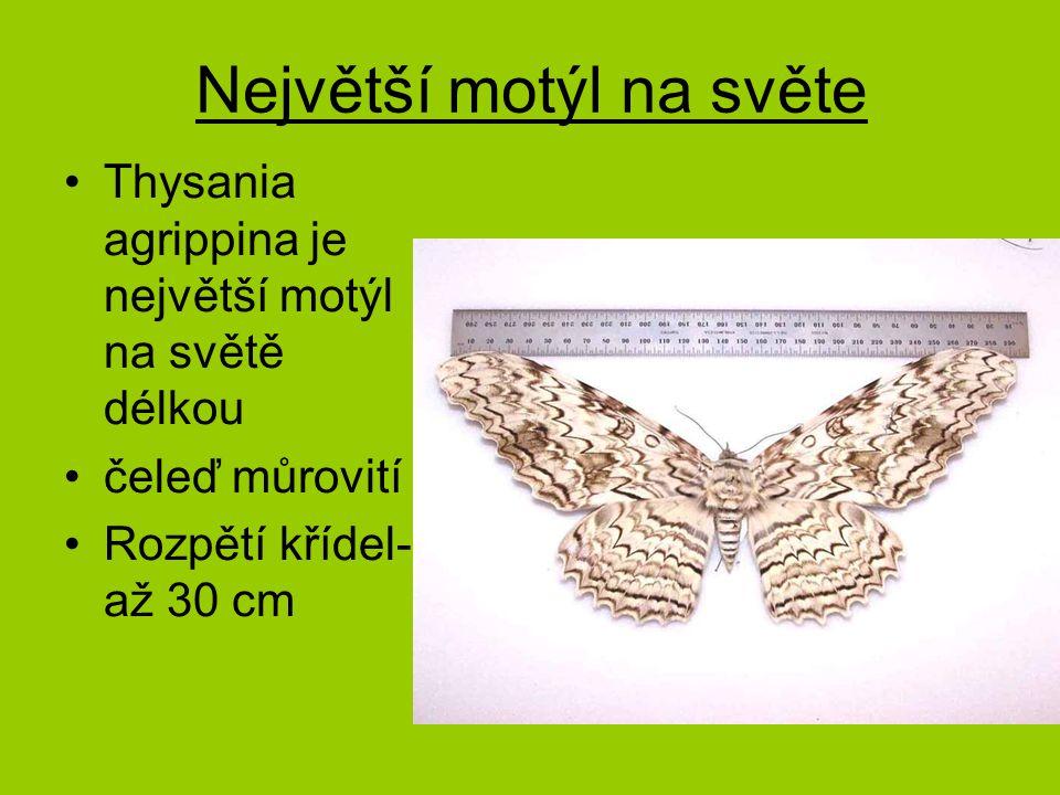Největší motýl na světe Thysania agrippina je největší motýl na světě délkou čeleď můrovití Rozpětí křídel- až 30 cm