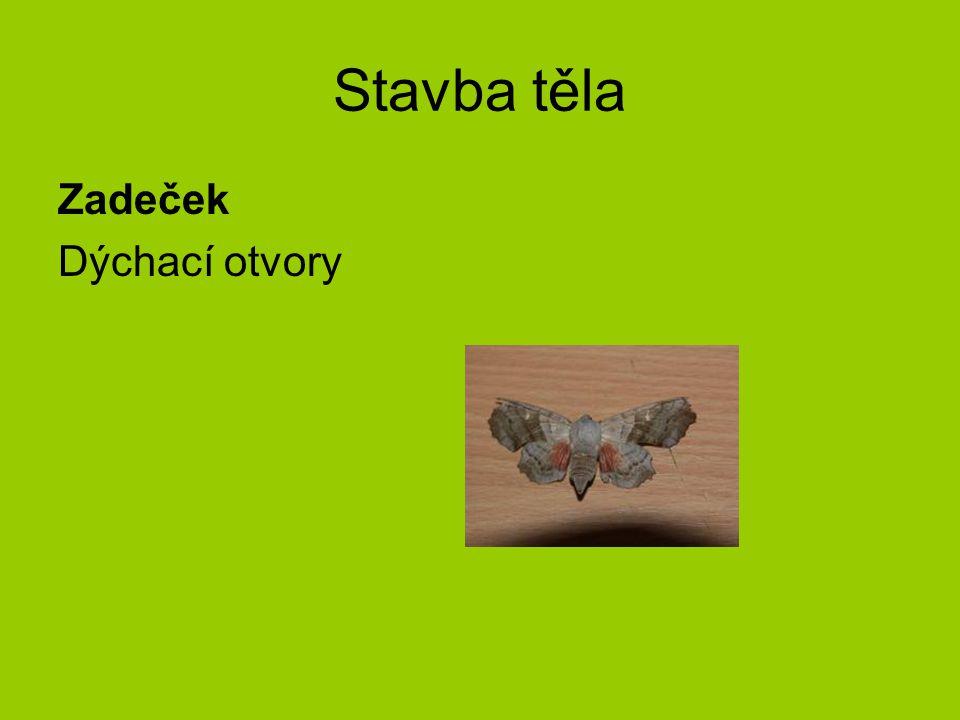 Vývojová stádia Vajíčko Housenka Zakuklení Dospělý motýl Proměna- dokonalá