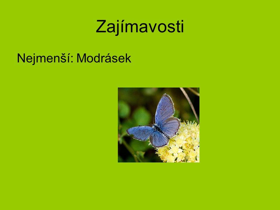 Někteří zástupci Otakárci Nejkrásnější denní motýli Protažená zadní křídla