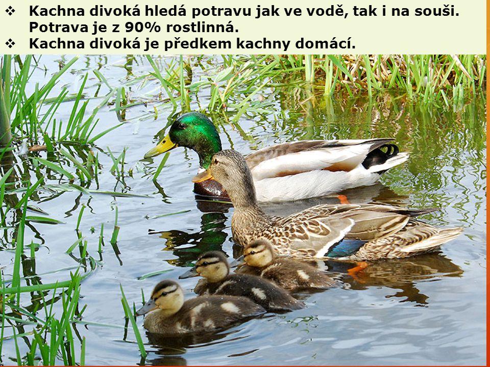  Kachna divoká hledá potravu jak ve vodě, tak i na souši. Potrava je z 90% rostlinná.  Kachna divoká je předkem kachny domácí.
