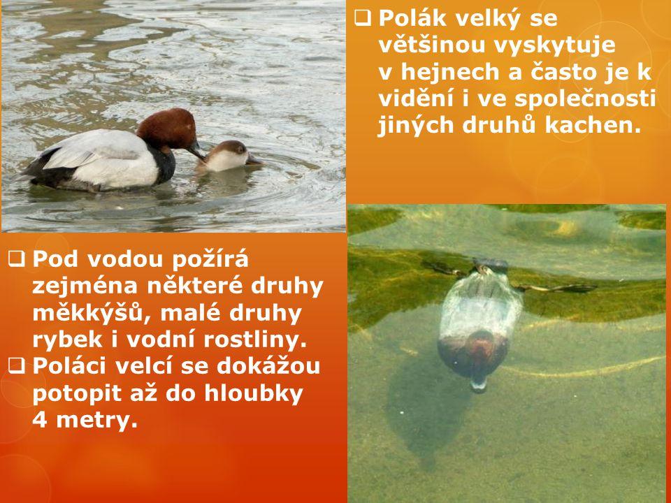  Polák velký se většinou vyskytuje v hejnech a často je k vidění i ve společnosti jiných druhů kachen.  Pod vodou požírá zejména některé druhy měkký