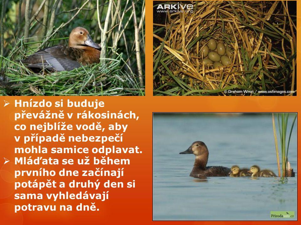  Hnízdo si buduje převážně v rákosinách, co nejblíže vodě, aby v případě nebezpečí mohla samice odplavat.  Mláďata se už během prvního dne začínají