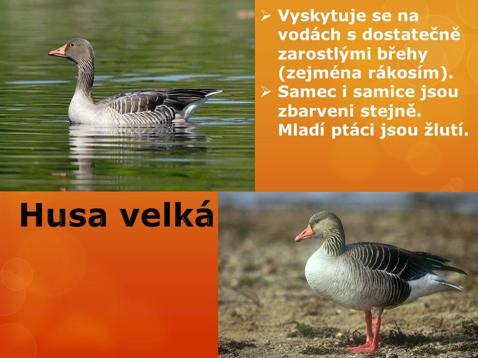  Vyskytuje se na vodách s dostatečně zarostlými břehy (zejména rákosím).  Samec i samice jsou zbarveni stejně. Mladí ptáci jsou žlutí.