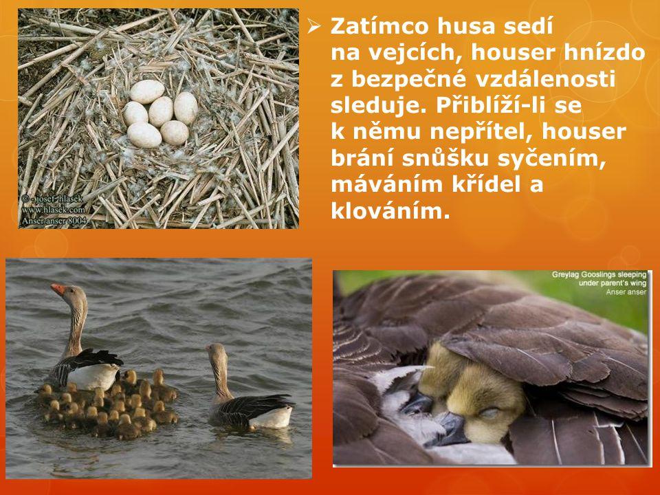  Zatímco husa sedí na vejcích, houser hnízdo z bezpečné vzdálenosti sleduje. Přiblíží-li se k němu nepřítel, houser brání snůšku syčením, máváním kří