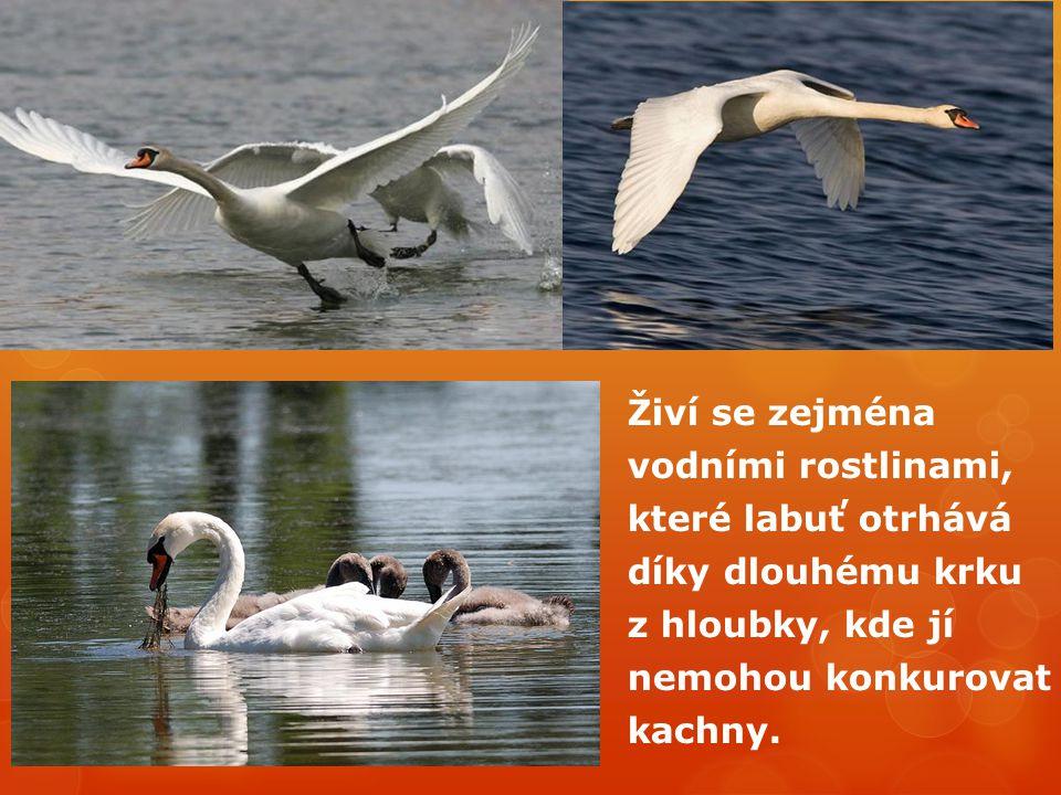 Živí se zejména vodními rostlinami, které labuť otrhává díky dlouhému krku z hloubky, kde jí nemohou konkurovat kachny.