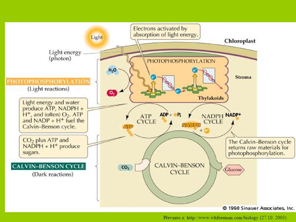 Převzato z: http://www.whfreeman.com/biology (27.10. 2003)