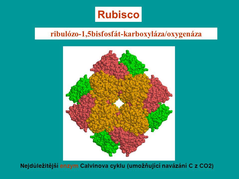 ribulózo-1,5bisfosfát-karboxyláza/oxygenáza Nejdůležitější enzym Calvinova cyklu (umožňující navázání C z CO2) Rubisco