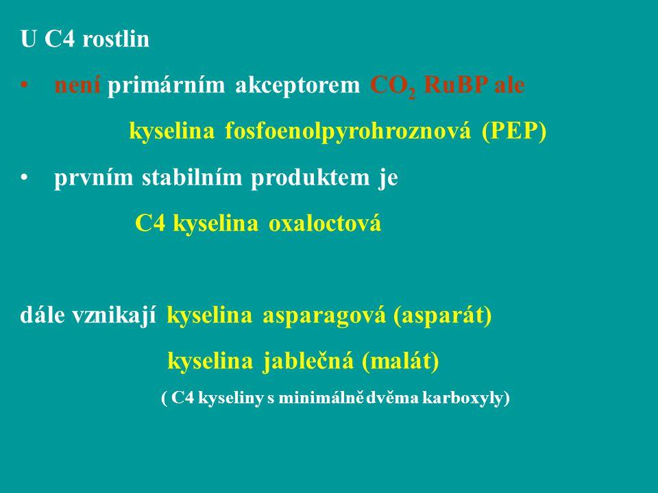 U C4 rostlin není primárním akceptorem CO 2 RuBP ale kyselina fosfoenolpyrohroznová (PEP) prvním stabilním produktem je C4 kyselina oxaloctová dále vz