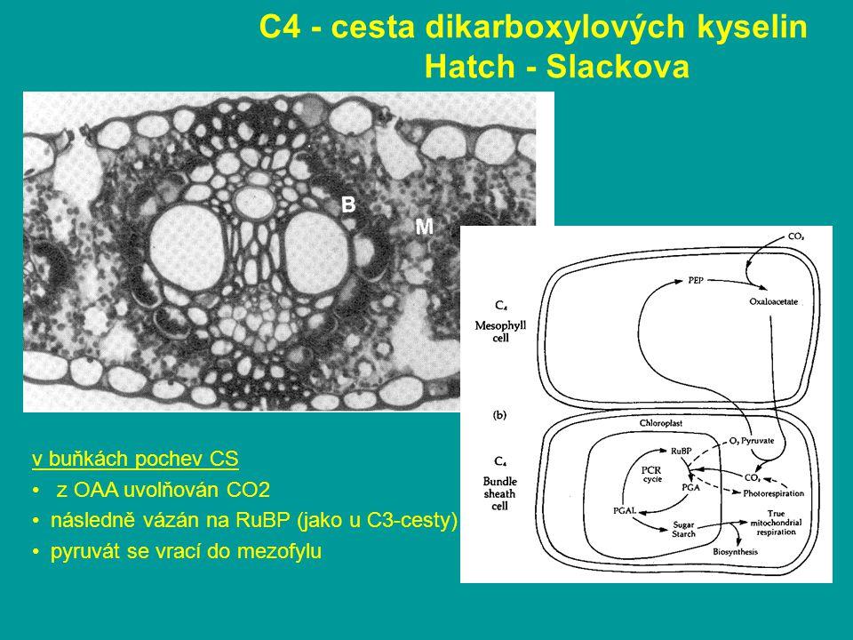 C4 - cesta dikarboxylových kyselin Hatch - Slackova v buňkách pochev CS z OAA uvolňován CO2 následně vázán na RuBP (jako u C3-cesty) pyruvát se vrací