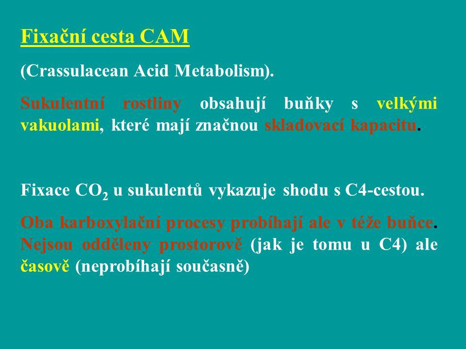 Fixační cesta CAM (Crassulacean Acid Metabolism). Sukulentní rostliny obsahují buňky s velkými vakuolami, které mají značnou skladovací kapacitu. Fixa