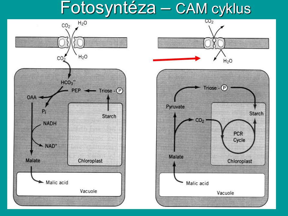 Fotosyntéza – CAM cyklus