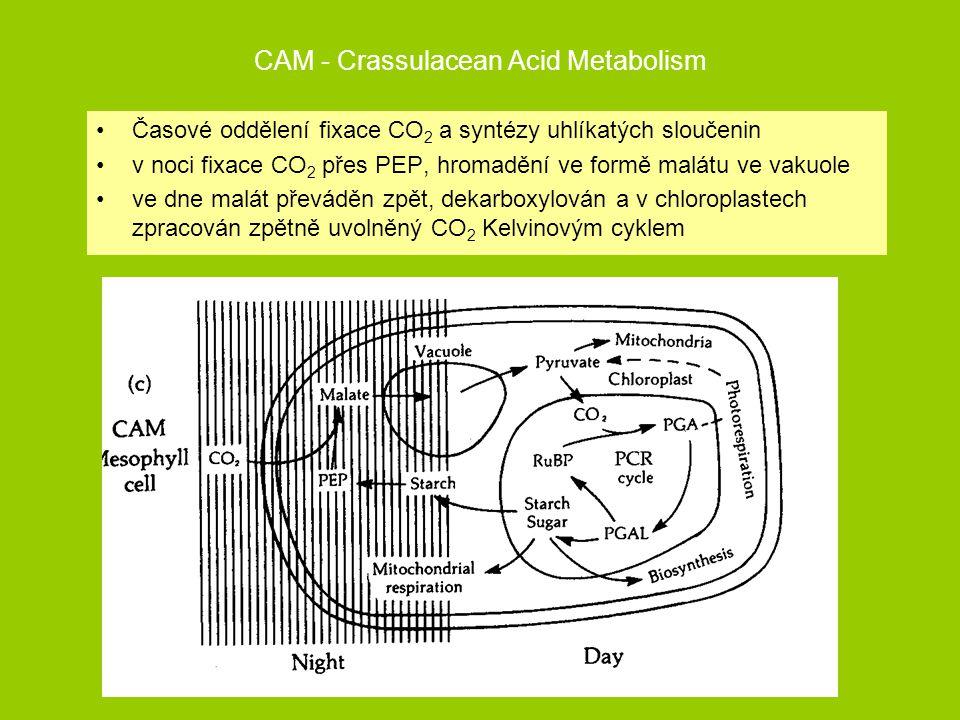 CAM - Crassulacean Acid Metabolism Časové oddělení fixace CO 2 a syntézy uhlíkatých sloučenin v noci fixace CO 2 přes PEP, hromadění ve formě malátu v