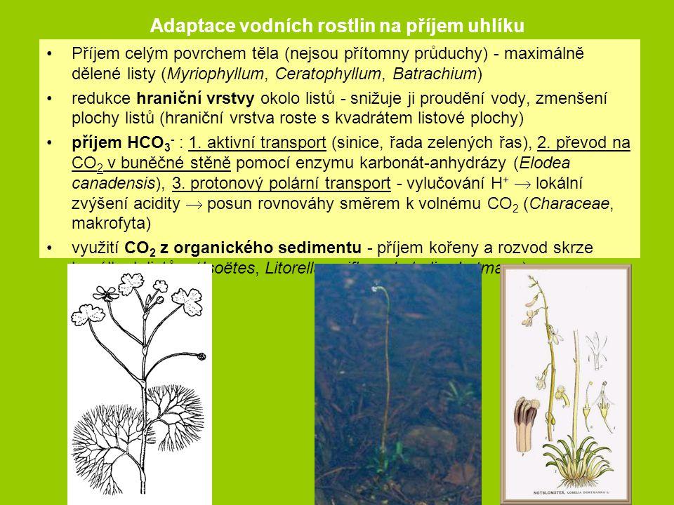 Adaptace vodních rostlin na příjem uhlíku Příjem celým povrchem těla (nejsou přítomny průduchy) - maximálně dělené listy (Myriophyllum, Ceratophyllum,