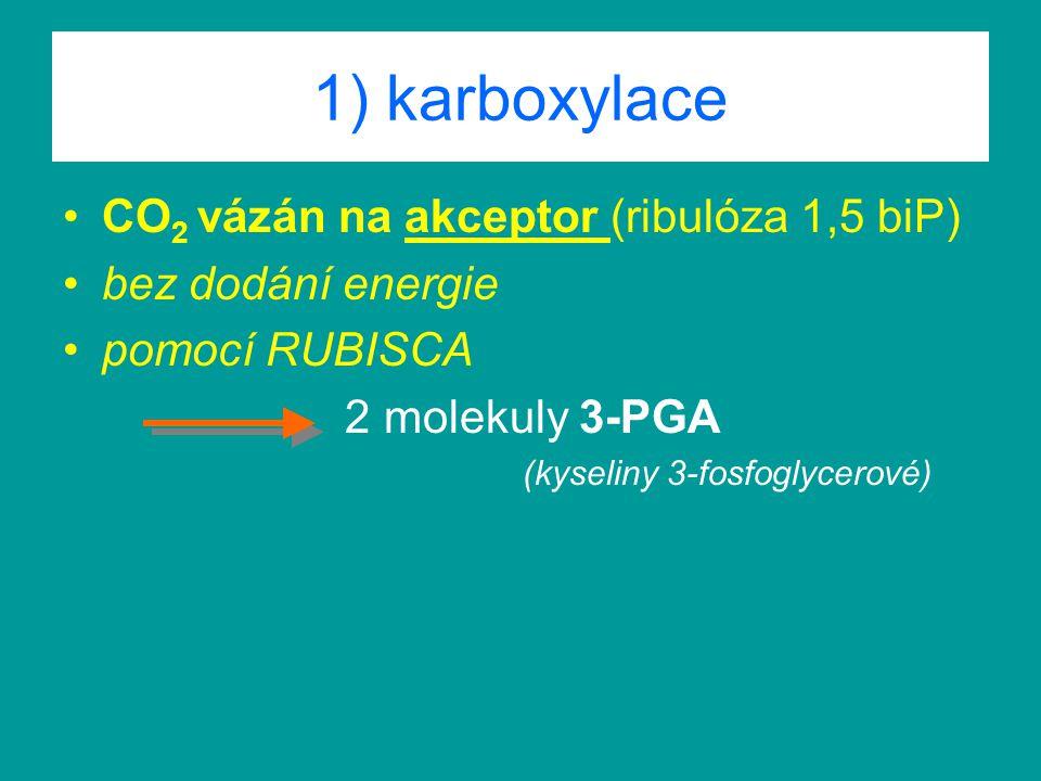 1) karboxylace CO 2 vázán na akceptor (ribulóza 1,5 biP) bez dodání energie pomocí RUBISCA 2 molekuly 3-PGA (kyseliny 3-fosfoglycerové)
