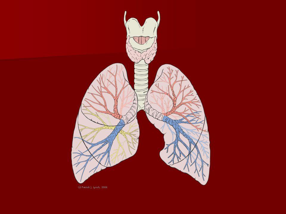 Dýchací cesty Dutina nosní začíná nosními dírkami a ústí nozdrami do nosohltanu.
