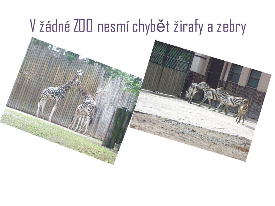V žádné ZOO nesmí chyb ě t žirafy a zebry