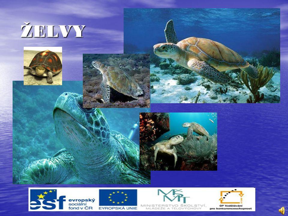 Želvy vodní Vodní želvy se od suchozemských liší tím, že mají celkově slabší tělo, méně vyklenutý krunýř a mezi prsty plovací blány.