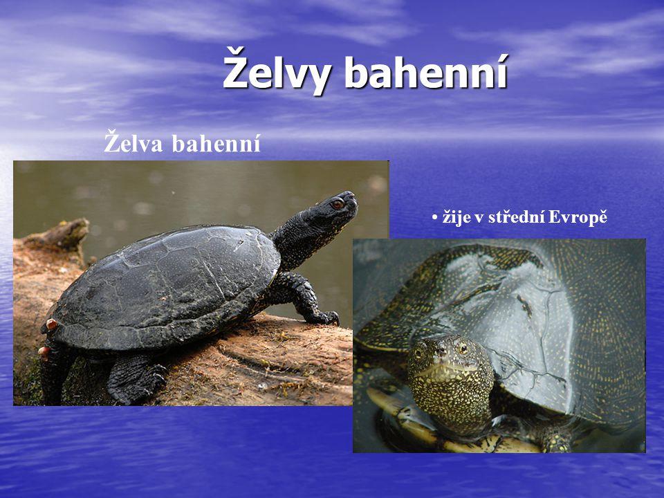 Želvy bahenní Želva bahenní žije v střední Evropě
