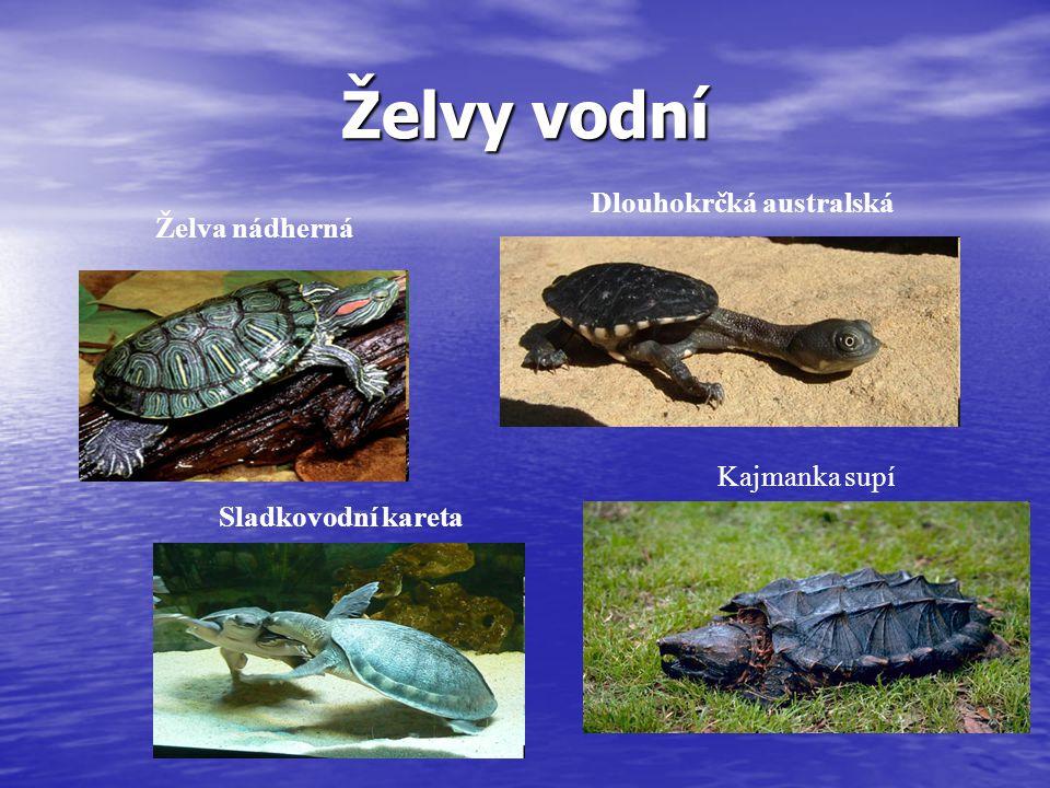 Želvy vodní Želva nádherná Dlouhokrčká australská Sladkovodní kareta Kajmanka supí