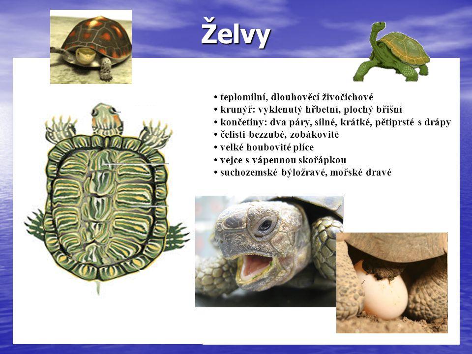 Želvy teplomilní, dlouhověcí živočichové krunýř: vyklenutý hřbetní, plochy břišní končetiny: dva páry, silné, krátké, pětiprsté s drápy teplomilní, dlouhověcí živočichové krunýř: vyklenutý hřbetní, plochý břišní končetiny: dva páry, silné, krátké, pětiprsté s drápy čelisti bezzubé, zobákovité velké houbovité plíce vejce s vápennou skořápkou suchozemské býložravé, mořské dravé
