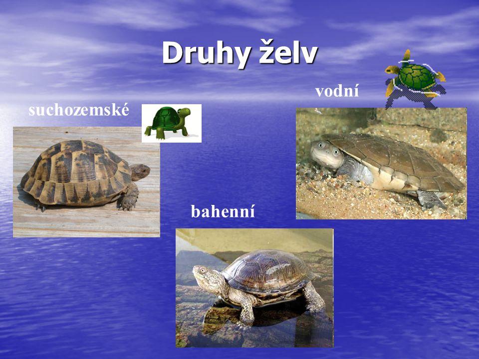 Želvy suchozemské Suchozemské želvy mají tlusté nohy, celkově mohutné tělo, vysoce vyklenutý krunýř a na nohou tlusté drápy.