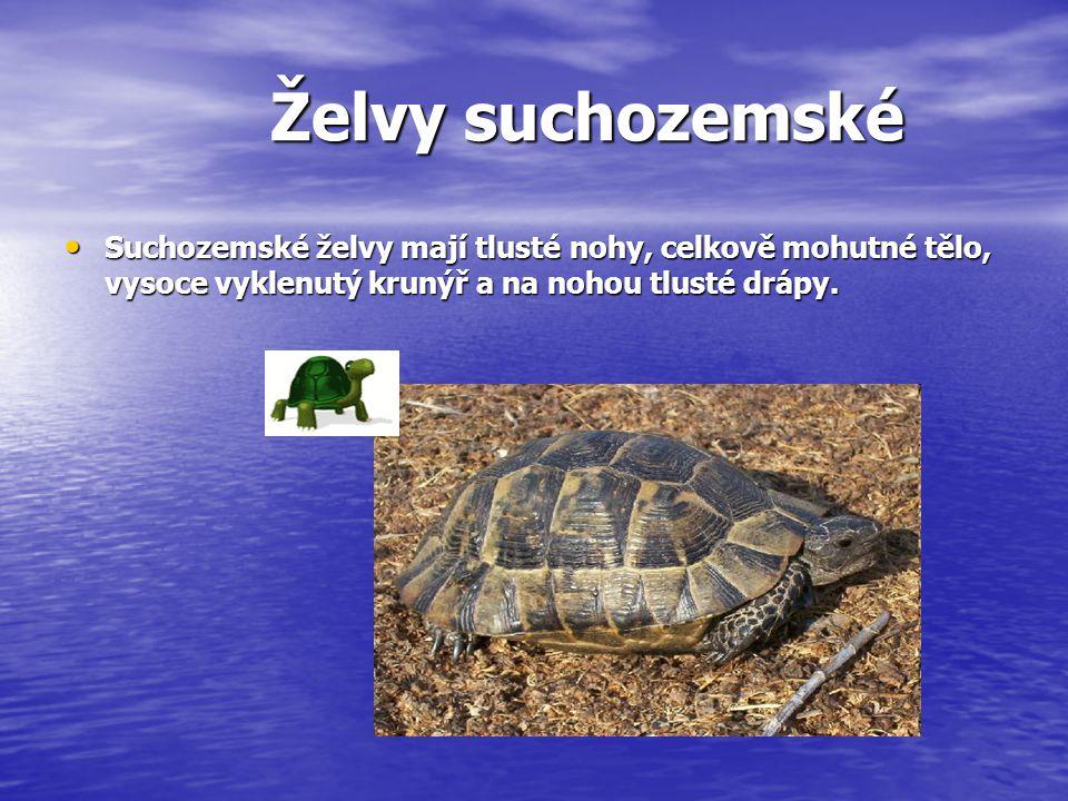 Želvy suchozemské Želva žlutohnědá Želva širokoštítá -vroubená Želva zelenavá - řecká Želva čtyřprstá běžně se chová