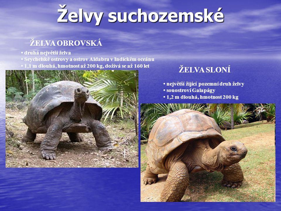 Želvy suchozemské ŽELVA SLONÍ největší žijící pozemní druh želvy souostroví Galapágy 1,2 m dlouhá, hmotnost 200 kg ŽELVA OBROVSKÁ druhá největší želva Seychelské ostrovy a ostrov Aldabra v Indickém oceánu 1,1 m dlouhá, hmotnost až 200 kg, dožívá se až 160 let