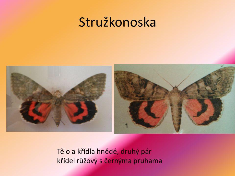 Stružkonoska Tělo a křídla hnědé, druhý pár křídel růžový s černýma pruhama