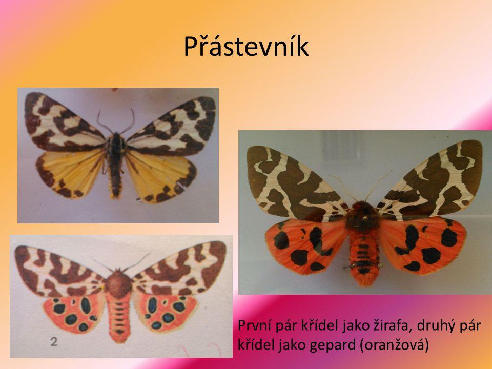 Přástevník První pár křídel jako žirafa, druhý pár křídel jako gepard (oranžová)