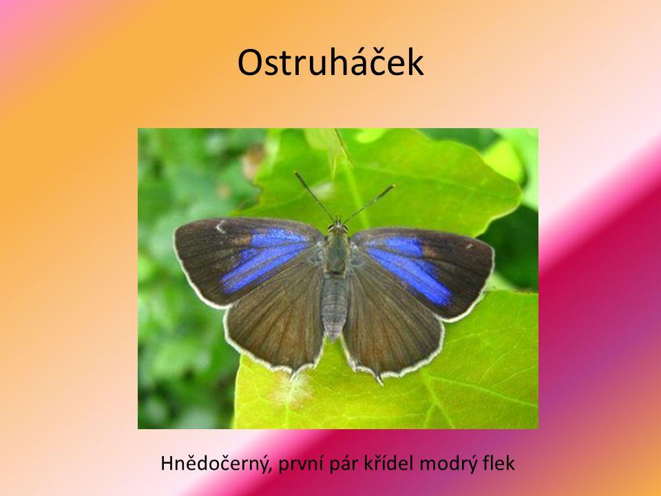 Ostruháček Hnědočerný, první pár křídel modrý flek