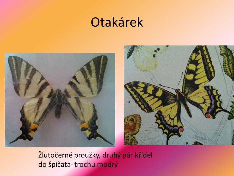 Otakárek Žlutočerné proužky, druhý pár křídel do špičata- trochu modrý