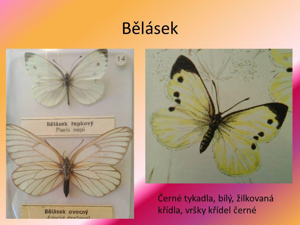 Bělásek Černé tykadla, bílý, žilkovaná křídla, vršky křídel černé