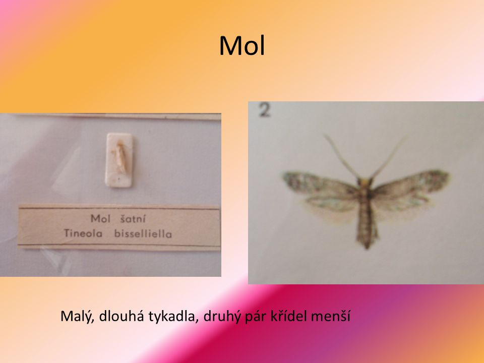 Mol Malý, dlouhá tykadla, druhý pár křídel menší