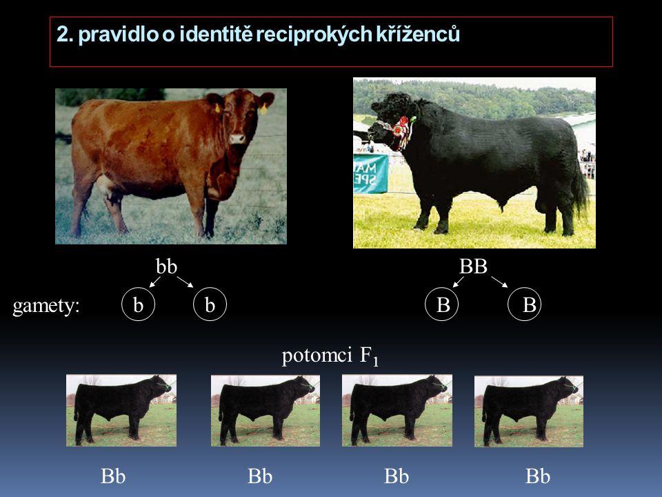 2. pravidlo o identitě reciprokých kříženců bb BB potomci F 1 Bb Bb Bb Bb gamety: b b B B