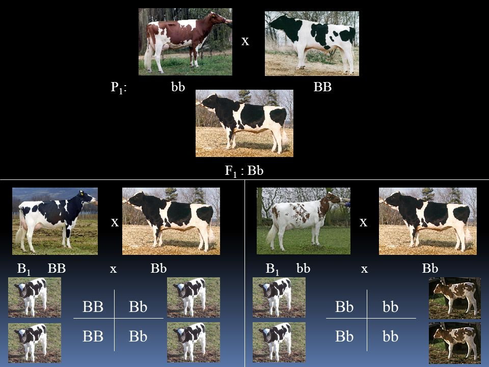 x P 1 : bb BB F 1 : Bb x B 1 BB x Bb x B 1 bb x Bb BB Bb Bb bb